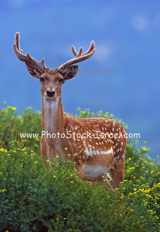 Male Mesopotamian Fallow deer (Dama mesopotamica) AKA Persian Fallow deer close up portrait of head and antlers. Photographed in Israel Carmel forest