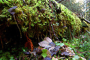 Moss on log in conifer forest in fall. West Fork Yaak Roadless Area, Purcell Mountains, northwest Montana.