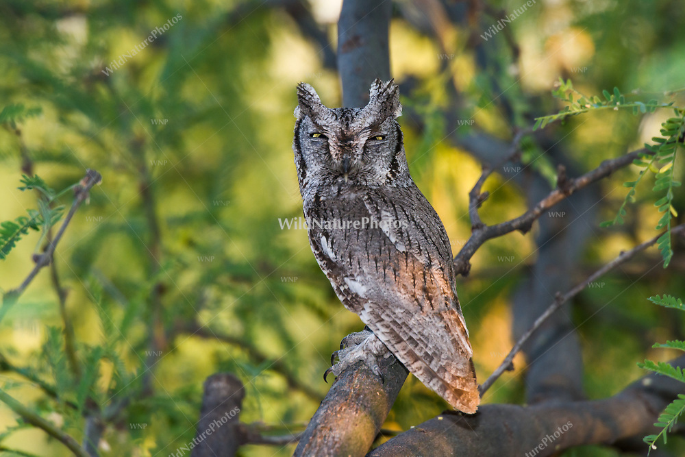 An adult Western Screech Owl (Megascops kennicottii) roosting on a Mesquite branch (Prosopis velutina). Arizona