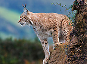 A lynx is sitting on a rocky cliff in the Wildlife Park of Cabárceno in Spain.