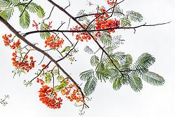 Royal Poinciana Tree Delonix Regia #10