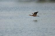 Double Crested Cormorant in flight over Eldridge Lake at Eldridge Park in Elmira, NY.