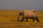 Elephant in the marshes in Amboseli National Park, Kenya.