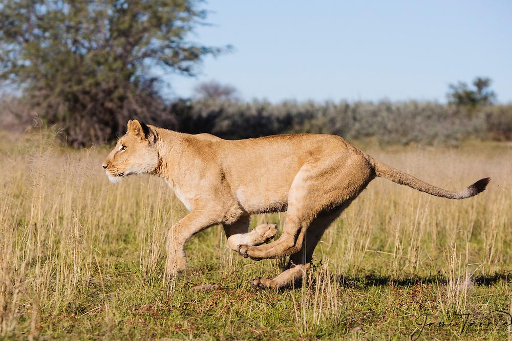 A lioness running in the morning (Panthera leo), Kalahari Desert, Botswana Africa