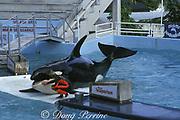 killer whale, Orcinus orca, has been trained to beach itself at Miami Seaquarium, Virginia Key, Florida, USA