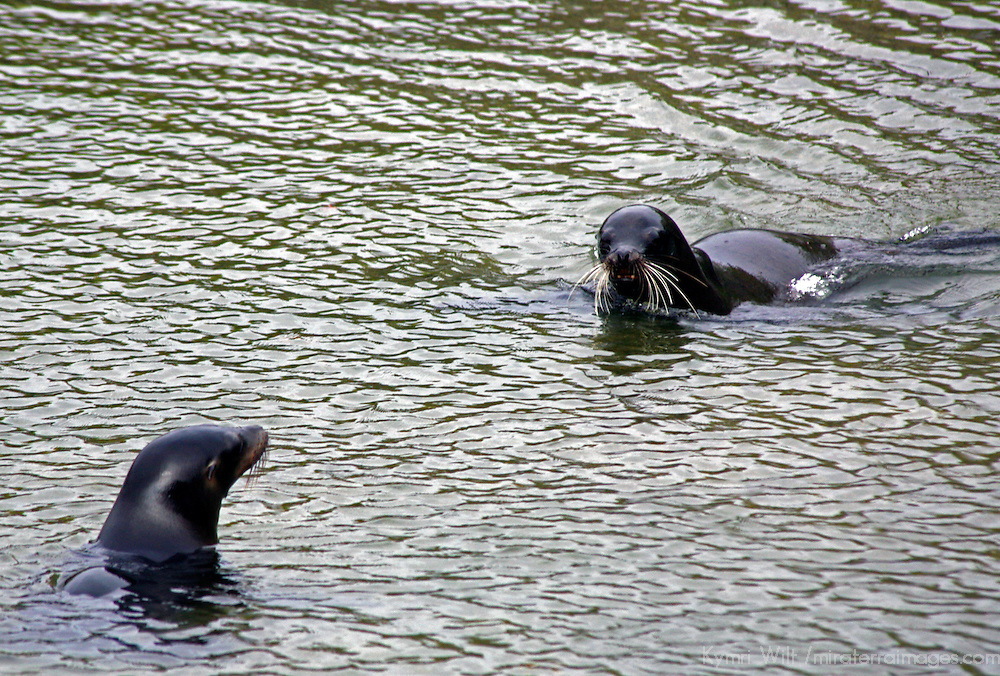 South America, Ecuador, Galapagos Islands, Punta Espinoza, Fernandina Island. A pair of sea lions flirt and play in the waters off Fernandina Island.