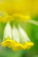 Cowslip, Primula veris, Kallhall, Uppland Sweden