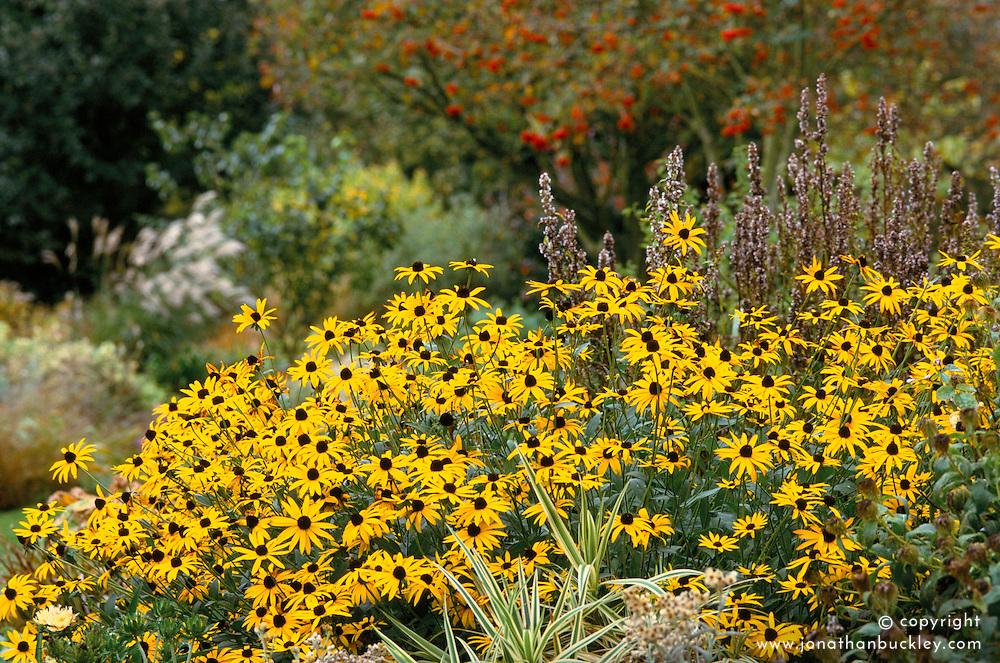 Rudbeckia fulgida var deamii at Glen Chantry with autumn garden beyond<br /> Black-eyed Susan
