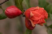 Pomegranate To Follow