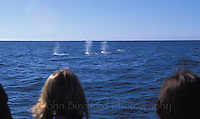Whales spouting in the Pacific Ocean off the coast of Mendocino California