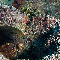 Longfin Damselfish, Stegastes diencaeus, (Jordan & Rutter, 1897), Grand Cayman