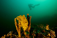 """Roughjaw Frogfish (Antennarius avalonis) poised in some sponges with diver Kevan Mantell hovering in the water above, where he is spotting for whale sharks which frequent these plankton rich waters.<br /><br />Canales de Afuera Island<br />Coiba National Park, Panama<br />Tropical Eastern Pacific Ocean<br /><br />""""Wahoo"""" dive site"""