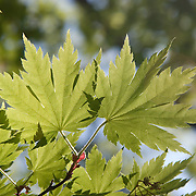 Sun shing through Maple (Acer sp.) leaves in the spring in Oregon. Maple trees and shrubs can be found in  Asia, Europe, northern Africa, and North America.
