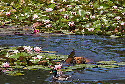 Englefield Green, UK. 27 June, 2019. A dog chases a male mallard duck on a warm, sunny June day at the Cow Pond, an ornamental lake gilded with four different types of water lily, coloured white, pink, carmine red and gold, in Windsor Great Park. Temperatures are expected to rise in the south of England before the weekend as the heatwave intensifies still further in much of mainland Europe. The Cow Pond was renovated in 2012 to commemorate the Queen's Diamond Jubilee.