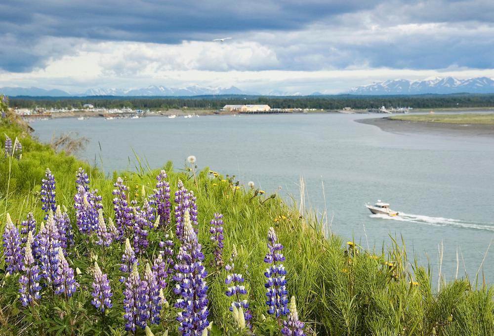 Summertime on the Kenai Peninsula and the Kenai River.  Lupine flowers are blooming, the kings and reds are coming in.  Sportfishing is hot, and the days are warm.  Kenai  Mts. in the background.