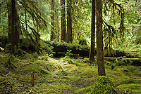 The mossy forest floor in Ancient Groves, Olympic National Park, Washington.