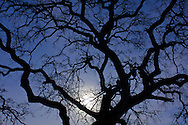 Barren oak tree branches in evening by the light of the full moon, Briones Regional Park, Contra Costa County, California