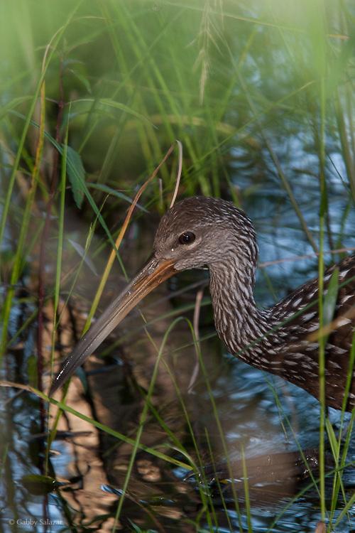 Limpkin (Aramus guarauna). Corkscrew Swamp Sanctuary, National Audubon Society, Naples, Florida.