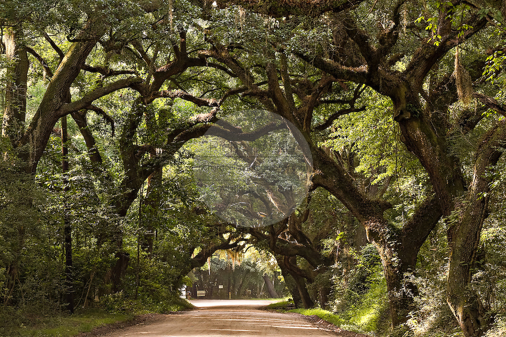 Live oak tree tunnel on the dirt road leading to Botany Bay Plantation in Edisto Island, South Carolina.