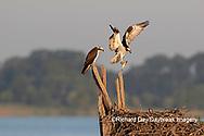 00783-02109 Osprey (Pandion haliaetus) landing at nest with fish Rend Lake Jefferson Co. IL