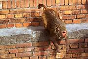 Nepali monkey