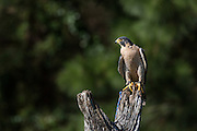 Peregrine Falcon on a tree stump at the Center for Birds of Prey November 15, 2015 in Awendaw, SC.