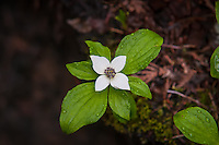 This western species of ground dogwood is a very common forest ground covering plant that can form  vast carpets of green throughout the damp forests of the Pacific Northwest. These white flowers will soon become bright-red berries which historically were an important food source for Native Americans. This was photographed in the forest near the shore of Trillium Lake on the southern side of Mount Hood's Peak in Oregon.