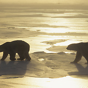 Polar Bear (Ursus maritimus) on the frozen ice of Hudson Bay during an evening sunset. Canada