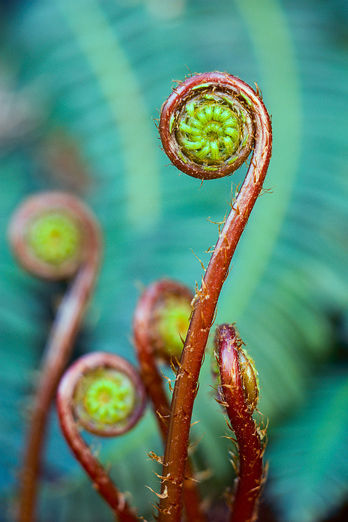 Deer fern ( Blechnum  spicant), forest floor,    Alpine Lakes Wilderness, Washington, USA