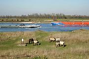 Nederland, Millingen, 1-3-2019Wilde paarden, koniks, grazen langs de Rijn in de Millingerwaard .. Natuurbegrazing door het uitzetten van Galloway runderen. De grazers lopen op de oever en houden de begroeing laag en divers. Ze zijn uitgezet en beheerd door de stichting Ark en staatsbosbeheer. Een binnenvaartschip vaart langs .Foto: Flip Franssen