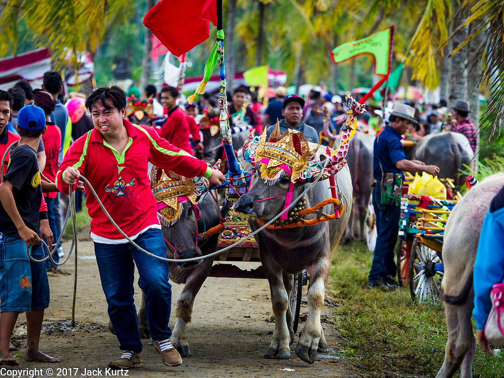 30 JULY 2017 - TUWED, JEMBRANA, BALI, INDONESIA: A man leads his water buffalo back to the truck to go home after a makepung (buffalo race) in Tuwed, Jembrana in southwest Bali. Makepung is buffalo racing in the district of Jembrana, on the west end of Bali. The Makepung season starts in July and ends in November. A man sitting in a small cart drives a pair of buffalo bulls around a track cut through rice fields in the district. It's a popular local past time that draws spectators from across western Bali.    PHOTO BY JACK KURTZ