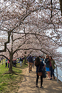 Washington, DC, USA — March 30, 2019 A woman takes a photo of two friends under blooming cherry blossom trees by the Potomac.