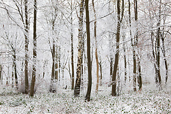 Hoar frost on trees in woodland near Birdlip, Gloucestershire on a snowy winter's morning