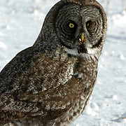 Great Gray Owl (Strix nebulosa) on snow covered ground after prey. Northern Minnesota. January. Winter.