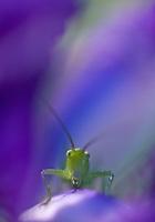 Apulia; Gargano National Park; Gargano Peninsula; Great Green Bush Cricket; Italy; Tettigonia viridissima
