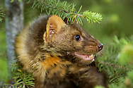 Marten in conifer tree, face portrait.  [This animal was born and raised in captivity, is not releasable, photographed in an outdoor setting in Montana.] © David A. Ponton