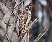 Red-shouldered Hawk. Courtenay Highway, Merritt Island National Wildlife Refuge. Image taken with a Nikon 1V2 camera and 180 mm f/2.8 lens (ISO 800, 180 mm, f'2.8, 1/640 sec).