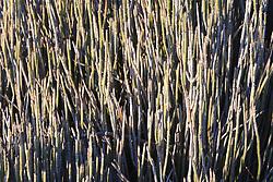 Candelilla (Euphorbia antisyphilitica), Big Bend National Park, Texas, USA.