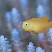 Cute yellow coral goby (Gobiodon okinawae) living among branches of Acropora coral at Fantasy Island, part of the Patch Reefs of Palau. This area was devastated by the el Nino of 1998 and a subsequent crown of thorns infestation. The area has since recovered and is a thriving, healthy reef system.