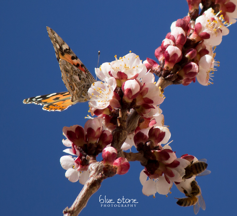 A butterfly and bees on apricot blooms during springtime, set against a blue sky.