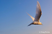 white tern or fairy tern, Gygis alba rothschildi, flying into the sunset at Sand Island, Midway, Atoll, Midway Atoll National Wildlife Refuge, Papahanaumokuakea Marine National Monument, Northwest Hawaiian Islands,  ( Central North Pacific Ocean )