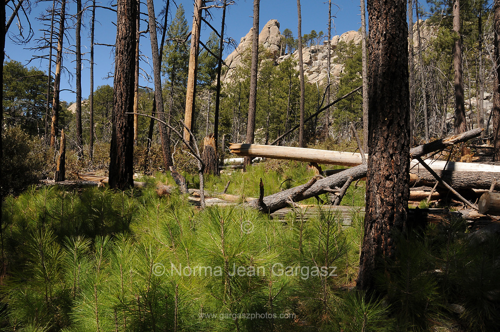 New growth of pines, ferns and other plants emerges from the forest floor following the Aspen Fire, Arizona Trail, Wilderness of Rocks Trail,  Trail, Sonoran Desert, Coronado National Forest, Santa Catalina Mountains, Mout Lemmon, Arizona, USA.