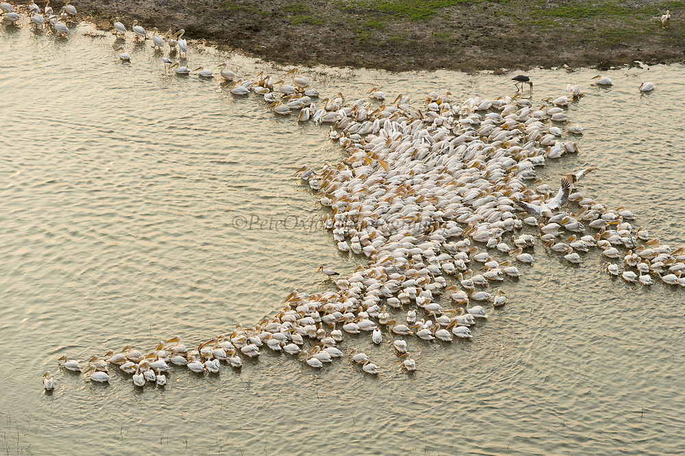 Great White Pelican (Pelecanus onocrotalus)<br /> Gorongosa National Park<br /> Mozambique<br /> Africa<br /> IUCN Near threatened