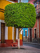 Manicured tree in the historical center of Guanajuato, Mexico<br /> ------<br /> Guanajuato is a city and municipality in central Mexico and the capital of the state of the same name. It is part of the macroregion of Bajío. It is in a narrow valley, which makes its streets narrow and winding. Most are alleys that cars cannot pass through, and some are long sets of stairs up the mountainsides. Many of the city's thoroughfares are partially or fully underground. The historic center has numerous small plazas and colonial-era mansions, churches and civil constructions built using pink or green sandstone.<br /> <br /> The origin and growth of Guanajuato resulted from the discovery of minerals in the mountains surrounding it. The mines were so rich that the city was one of the most influential during the colonial period. One of the mines, La Valenciana, accounted for two-thirds of the world's silver production at the height of its production.<br /> <br /> The city is home to the Mummy Museum, which contains naturally mummified bodies that were found in the municipal cemetery between the mid 19th and 20th centuries. It is also home to the Festival Internacional Cervantino, which invites artists and performers from all over the world as well as Mexico. Guanajuato was the site of the first battle of the Mexican War of Independence between insurgent and royalist troops at the Alhóndiga de Granaditas. The city was named a World Heritage Site in 1988.