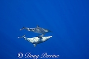 rough-toothed dolphins, Steno bredanensis, off Keauhou, Kona, Hawaii ( the Big Island ), USA ( Central Pacific Ocean )