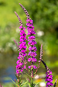 Purple Loosestrife wildflower, Lythrum salicaria, in  garden in The Cotswolds, England, United Kingdom