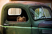 A dog waiting for its human in a late-model Chevy pick-up