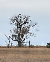 Bald Eagle (Haliaeetus leucocephalus). Las Vegas National Wildlife Refuge.  New Mexico. Image taken with a Nikon D4 camera and 70-200 mm f/2.8 VR lens.