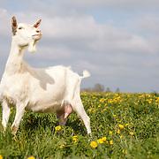 20120507 Goats Kelly
