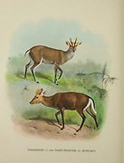 Tenasserim Muntjacs (top) and Hairy-Fronted or black muntjac, Muntiacus crinifrons Muntjacs (bottom). Muntjacs also known as barking deer or rib-faced deer are small deer of the genus Muntiacus native to south and southeast Asia from the book ' The deer of all lands : a history of the family Cervidae, living and extinct ' by Richard Lydekker, Published in London by Ward 1898